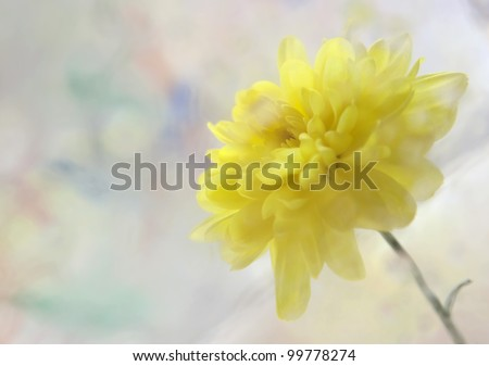 Yellow chrysanthemum on a colored background - stock photo