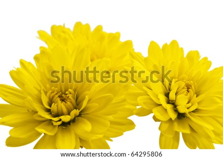 yellow chrysanthemum on a white background