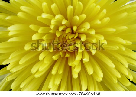 Yellow Chrysanthemum on black background