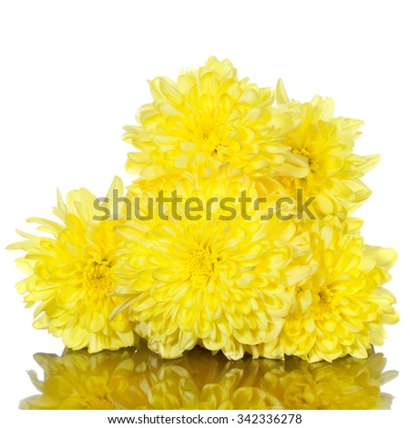 yellow chrysanthemums flower on a white background - stock photo
