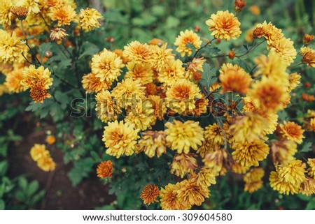 Yellow chrysanthemums flowers outdoor
