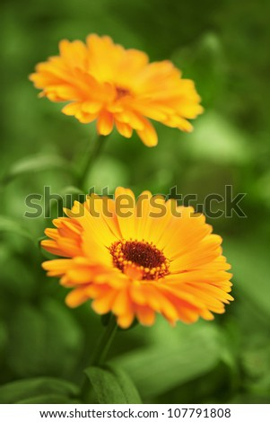 Yellow chrysanthemums on a bed close up - stock photo