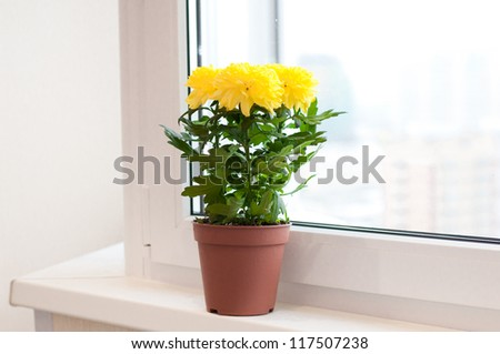 Yellow chrysanthemums on a window sill - stock photo