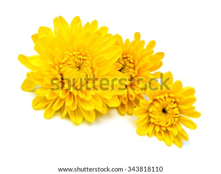 yellow chrysanthemums on white background - stock photo