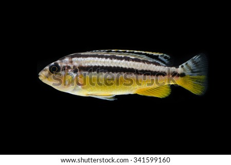 Yellow Cichlid fish in aquarium - stock photo