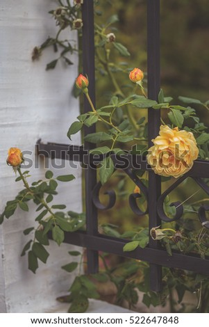 Yellow climbing roses on metal fence