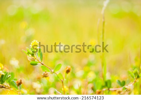 Yellow clover flower in summer green meadow.