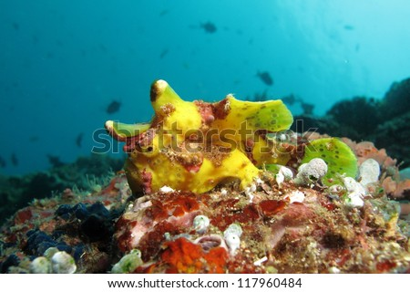Yellow clown frog fish (Antennarius maculatus) with patches of brown spots on the body.