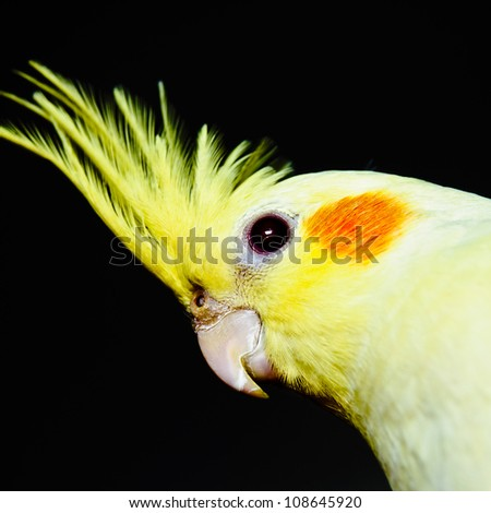 Yellow cockatiel head over dark background, across - stock photo