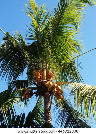 yellow coconut on cocoanut tree in garden Bali,This plant of palm and found throughout in seaside tropical. - stock photo