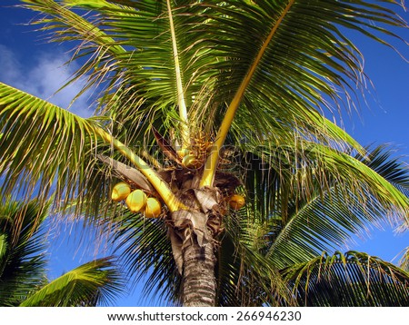 Yellow coconuts on the palm under the blue sky in Mauritius - stock photo