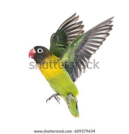 53+  Gambar Burung Lovebird Terbang  Paling Unik Gratis