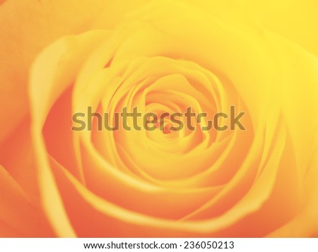 yellow color backgrounds natural rose love flowers