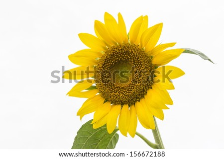 Yellow color sunflower in pure white background