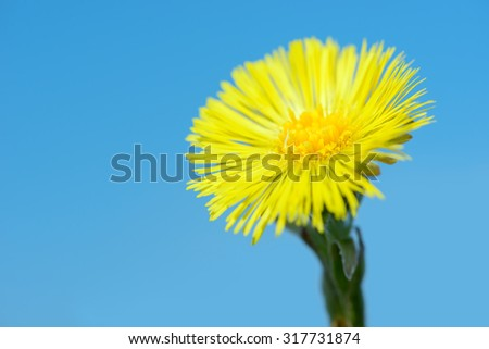 Yellow coltsfoot flower (Tussilago farfara) in early spring on blue sky background - stock photo