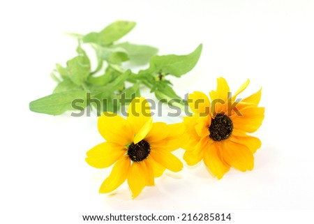 yellow coneflower on a white background - stock photo