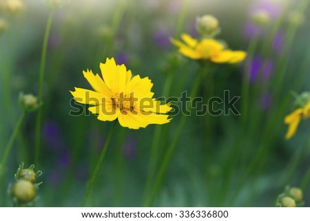 yellow coreopsis flower close up - stock photo