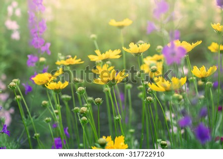 yellow coreopsis flowers - stock photo
