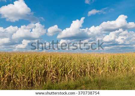 Yellow corn field and blue sky at late summer. Country landscape - stock photo