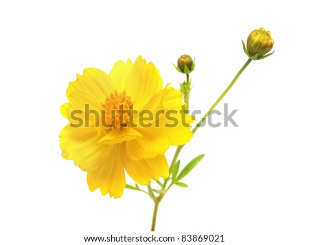 yellow cosmos flower on a white background