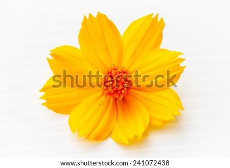 Yellow Cosmos flower on white background - stock photo