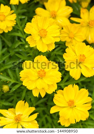 Yellow Cosmos Flowers with water drops. - stock photo