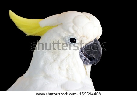 Yellow crested cockatoo (Cacatua Sulphurea) isolated on a back background. A critically endangered species native to Indonesia & East Timor.