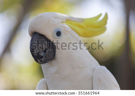 Yellow-crested white cockatoo parrot in nature surrounding, Bali, Indonesia - stock photo