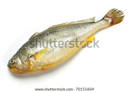 Croaker fish stock images royalty free images vectors for What is a croaker fish