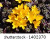 yellow crocus flowers - stock photo