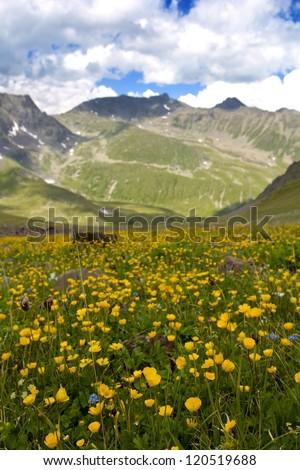 yellow crocus mountain valley - stock photo