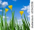 yellow crocuses against the sky - stock photo