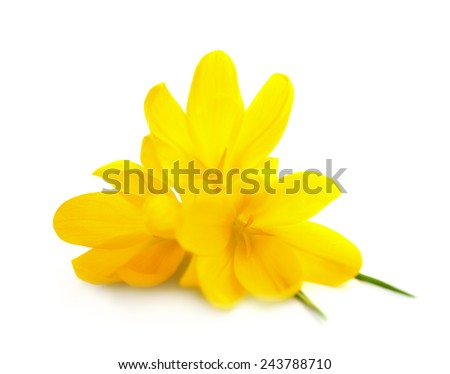Yellow Crocuses / Spring flowers isolated on white background  - stock photo