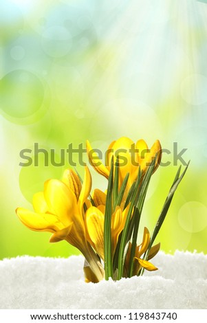 Yellow crocusse looking for spring - stock photo