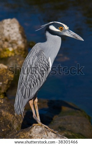 Yellow-crowned Night Heron - stock photo