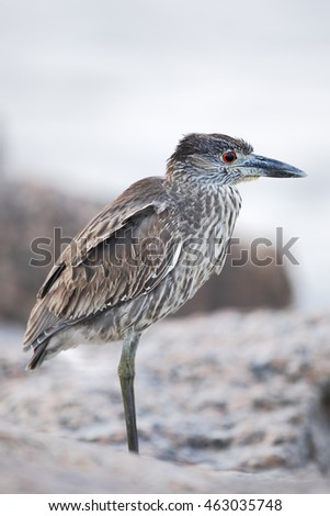 Yellow-crowned Night-heron (Nyctanassa violacea) immature standing on shore, Bolivar Peninsula, Texas, USA