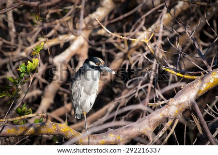 Yellow-crowned Night Heron sitting in a tangle of trees on a cool fall morning