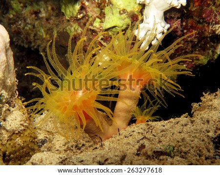 Yellow cup coral (Tubastrea coccinea) at night on a reef - stock photo