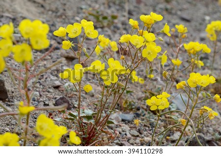 Yellow cups blooming during 2016 Death Valley Super Bloom