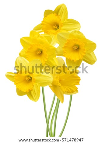 yellow daffodil bouquet isolated on a white background