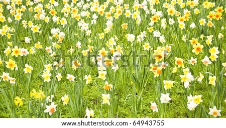 Yellow Daffodil field in spring - stock photo