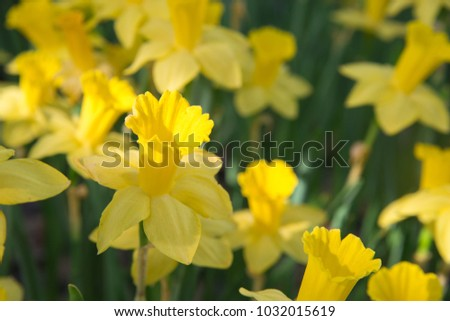 Yellow daffodil flowers blooming spring yellow stock photo edit now yellow daffodil flowers blooming in the spring yellow flowers daffodilsspring flowers yellow mightylinksfo