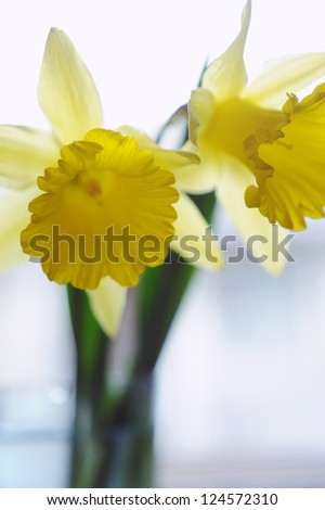 Yellow daffodil flowers in vase on the window
