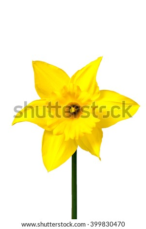 Yellow Daffodil in full bloom isolated on white background