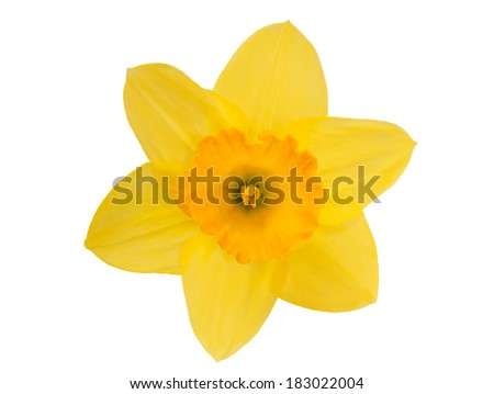 Yellow daffodil isolated on white background - stock photo