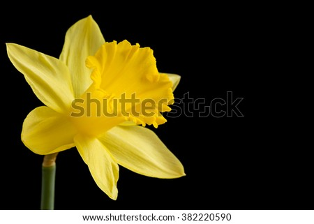 Yellow daffodil on a black background - stock photo