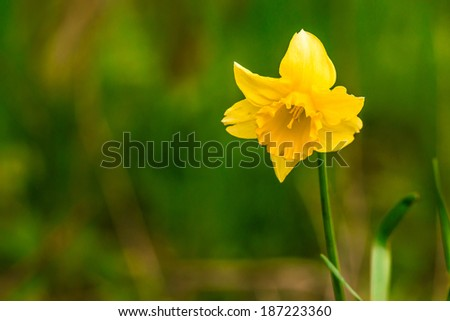 Yellow daffodil on green background - stock photo