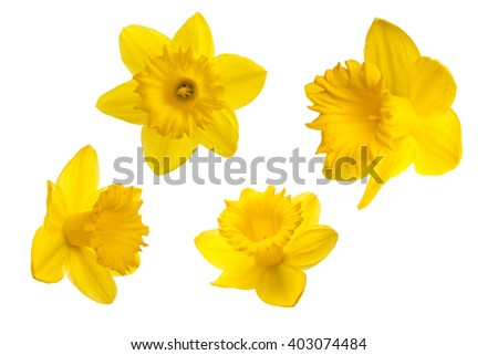Yellow daffodil petals on a white background. - stock photo