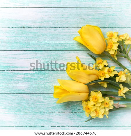 Yellow daffodils and tulips flowers  on turquoise  painted wooden planks. Selective focus. Place for text. Square image. - stock photo