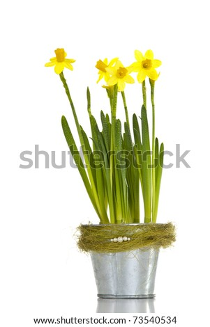 Yellow daffodils in a metal flowerpot